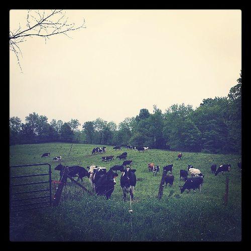 Quintessential Vermont Vermont Cows Cambridge Ignewengland