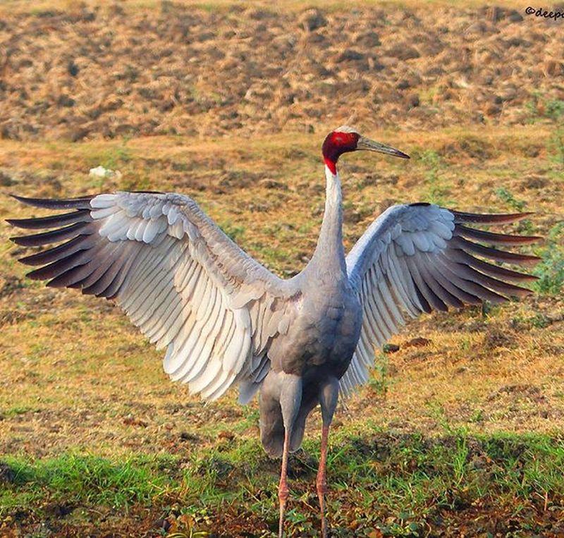 Sarus Cranes Beauty Beautyful  Beautycaremurah Hdr_captures HDR Hdr_pics Hdr_lovers Beautyful  Jaipurdiaries 🎀 Jaipurdiaries Panasonic  Fz200 Dausa Nature Naturelovers Jaipur Jaipurdiaries Gatolav Bird Birds birdwatching Birdwatchers