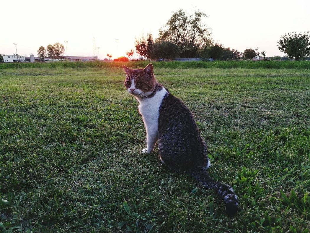 Formigine Pets Nature Campagnadietrocasa Gatto😸 Tranquility Cats 🐱 Green Color Tramonto, sunset #sun #clouds #skylovers #sky #nature #beautifulinnature #naturalbeauty photography landscape