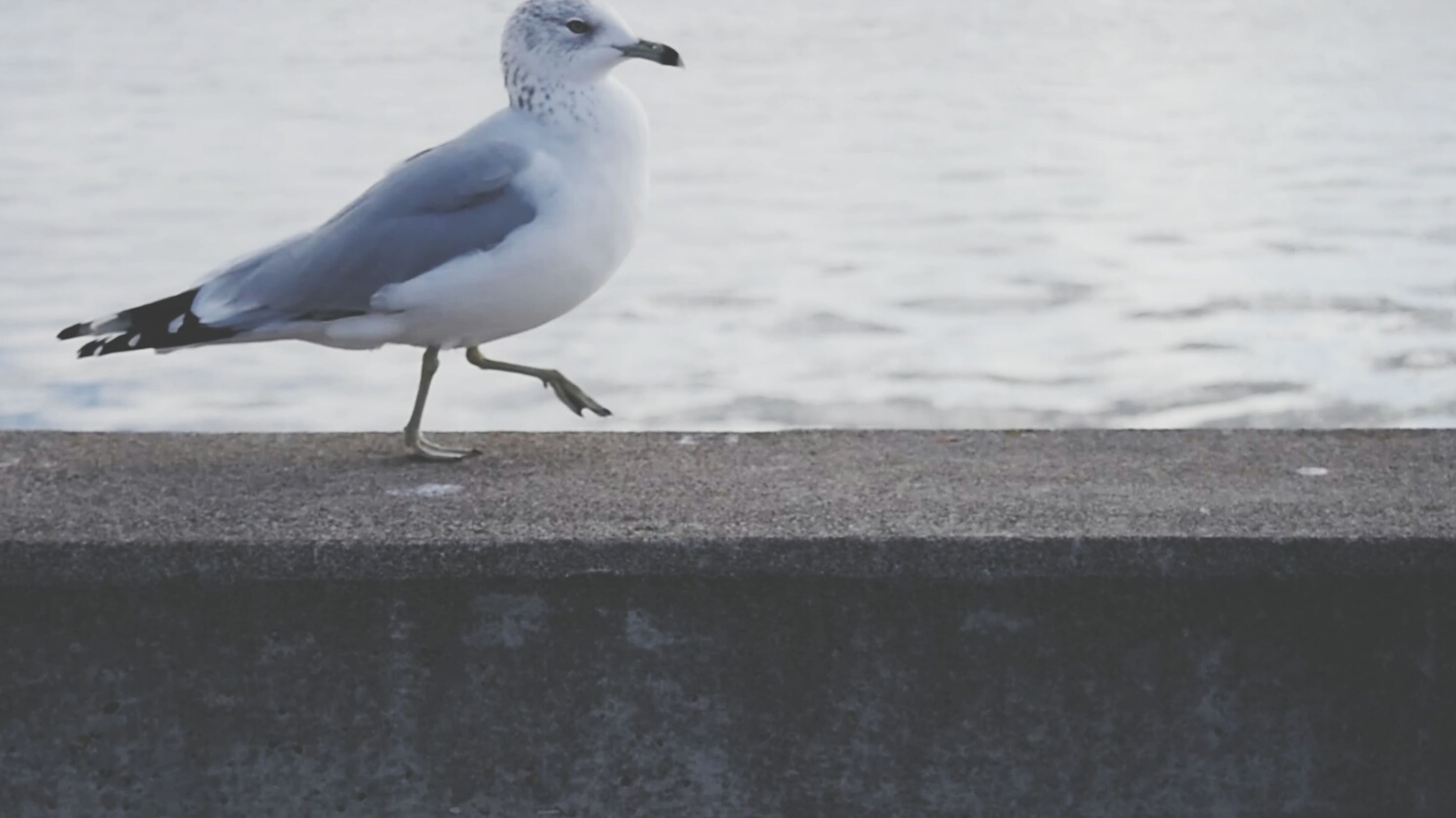 bird, animal themes, animals in the wild, seagull, wildlife, one animal, water, sea, perching, full length, nature, side view, spread wings, day, outdoors, flying, focus on foreground, two animals, no people, white color