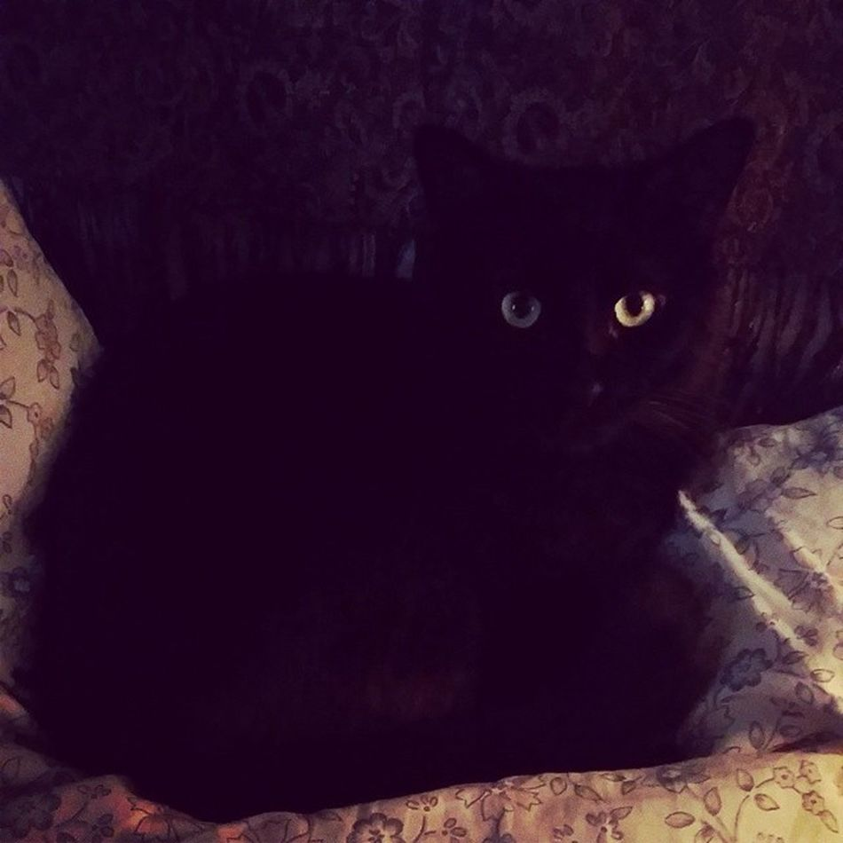 The babes ? Catsofinstagram Cats Fiercefelines Blackcats familiar babyboy catscatscats bagheerah