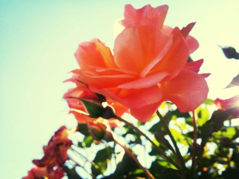 Flowers Garden Roses Macro Photography