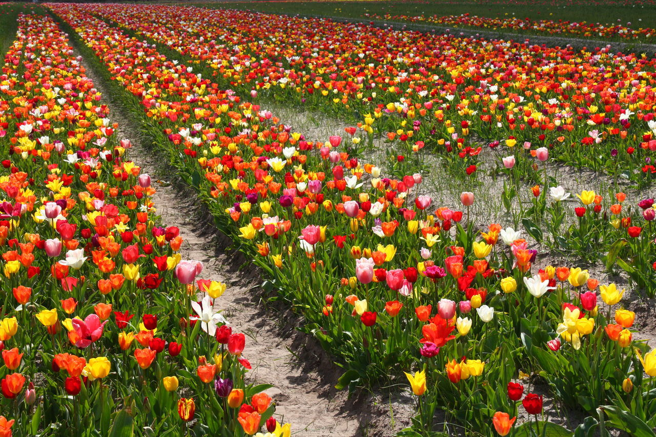 Abundance Agriculture Beauty In Nature Bretagne Day Field Fleurs Flower Flower Head Flowerbed Fragility France Freshness Growth Multi Colored Multicolor Nature No People Outdoors Petal Plant Pointe De La Torche Red Tulip TULIPES