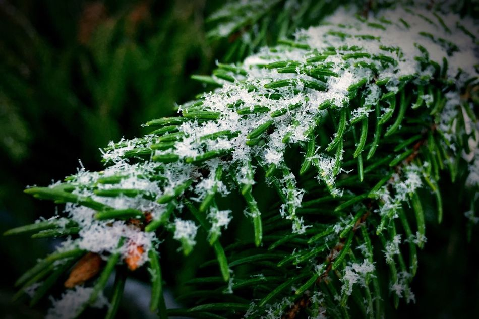 Beautiful stock photos of snowflake, Branch, Close-Up, Cold Temperature, Day