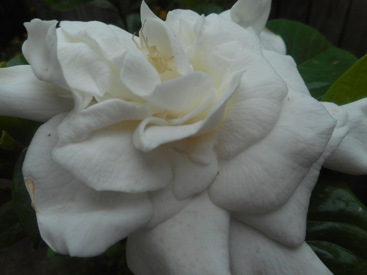 Beauty In Nature Blooming Camouflage Camouflage Animals Close-up Flower Flower Head Flower With Insect Fragility Garden Pest Garden Pests Gardenia Gardenia Flower Gardenias Hidden Beauty Hidden Faces Hidden Gems  Insect Nature Outdoors Pest Petal Plant Transparent White Flower