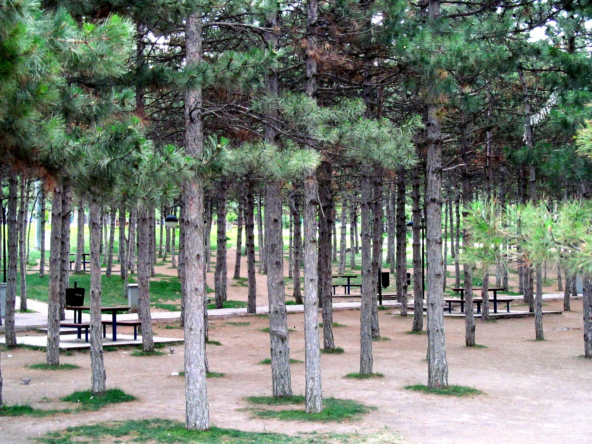 Pine Pine Trees Trees Hugging A Tree Park Green Bench Canon Powershot Sx150 IS