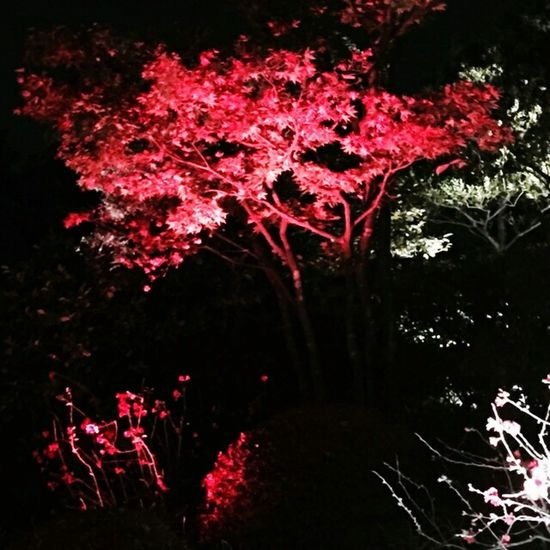 目白庭園 紅葉🍁 ライトアップ