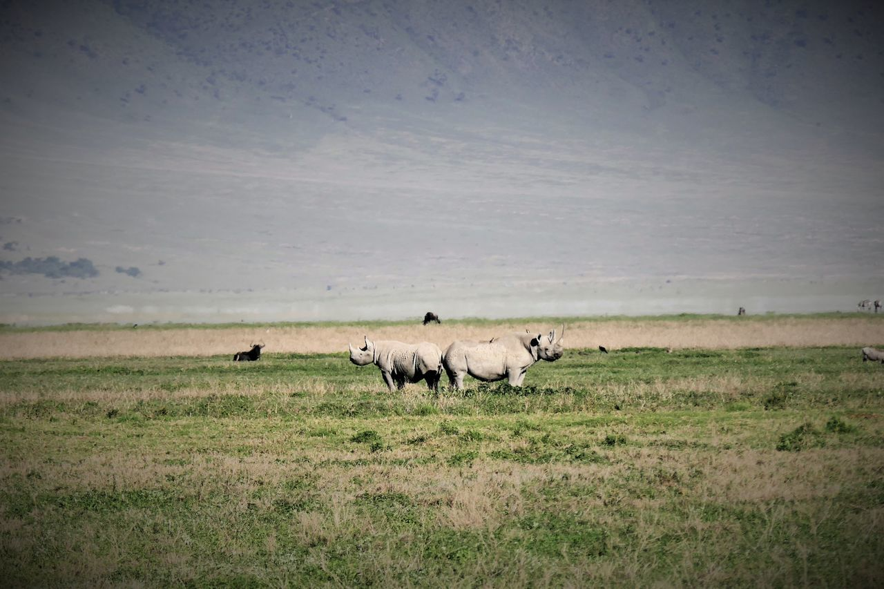 Serengeti Animal Themes Animals In The Wild Beauty In Nature Day Field Grass Landscape Large Group Of Animals Livestock Mammal Nature Ngorongoro Crater No People Outdoors Rhinoceros Serengeti National Park Sky Tanzania