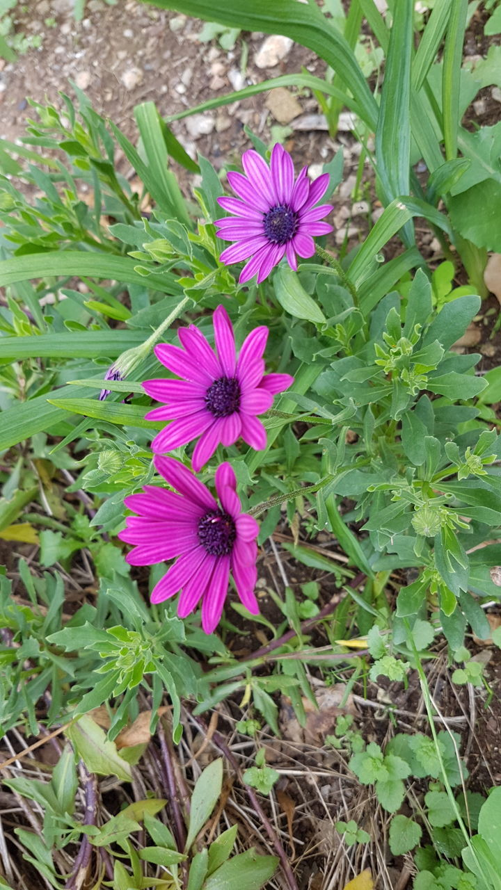 flower, fragility, petal, growth, plant, nature, purple, freshness, blooming, flower head, beauty in nature, high angle view, no people, outdoors, day, green color, field, osteospermum, eastern purple coneflower, close-up, petunia