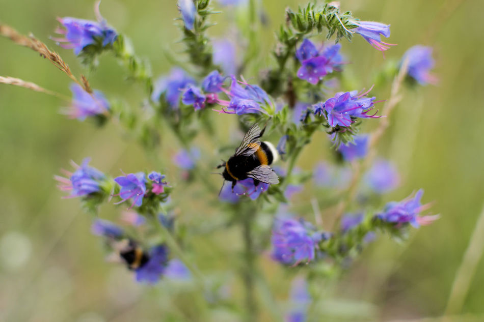 Animal Themes Beauty In Nature Bee Belarus Belarus Nature Bumblebee Buzzing Close-up Day Flower Flower Head Flowers Freshness Garden Growth Growth Insect Nature Nature No People Outdoors Plant Spring Summer