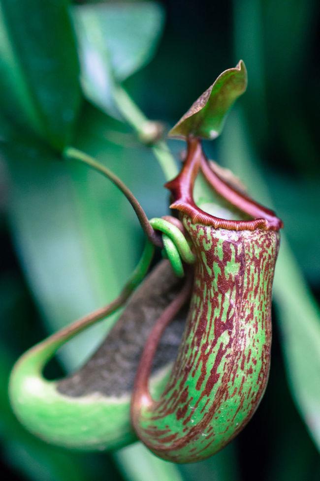The Carnivorous Pitcher Plant Pitcher Plant Canivorous Plant Canivore Plant Flora Trap