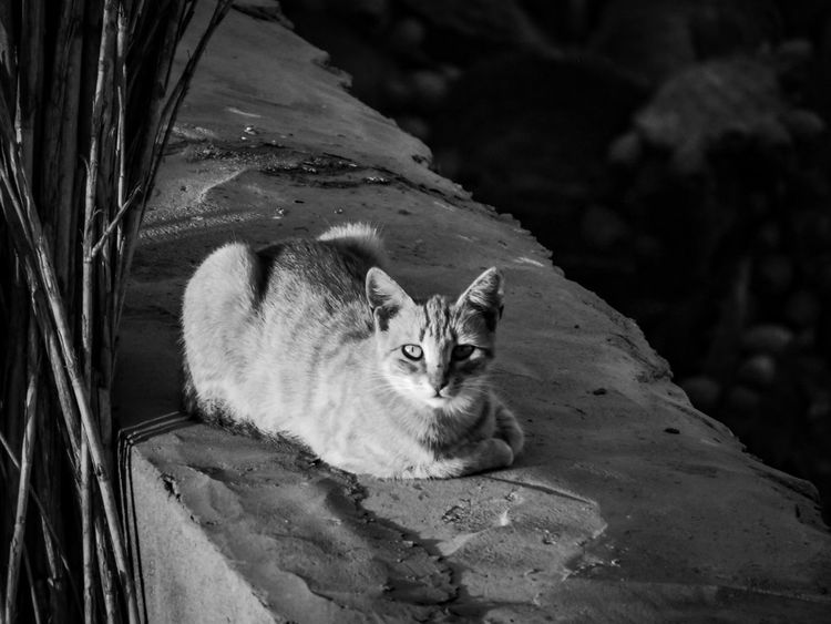 Domestic Cat One Animal Feline Pets Animal Themes Mammal Looking At Camera Domestic Animals No People Portrait Sitting Day Outdoors Nature