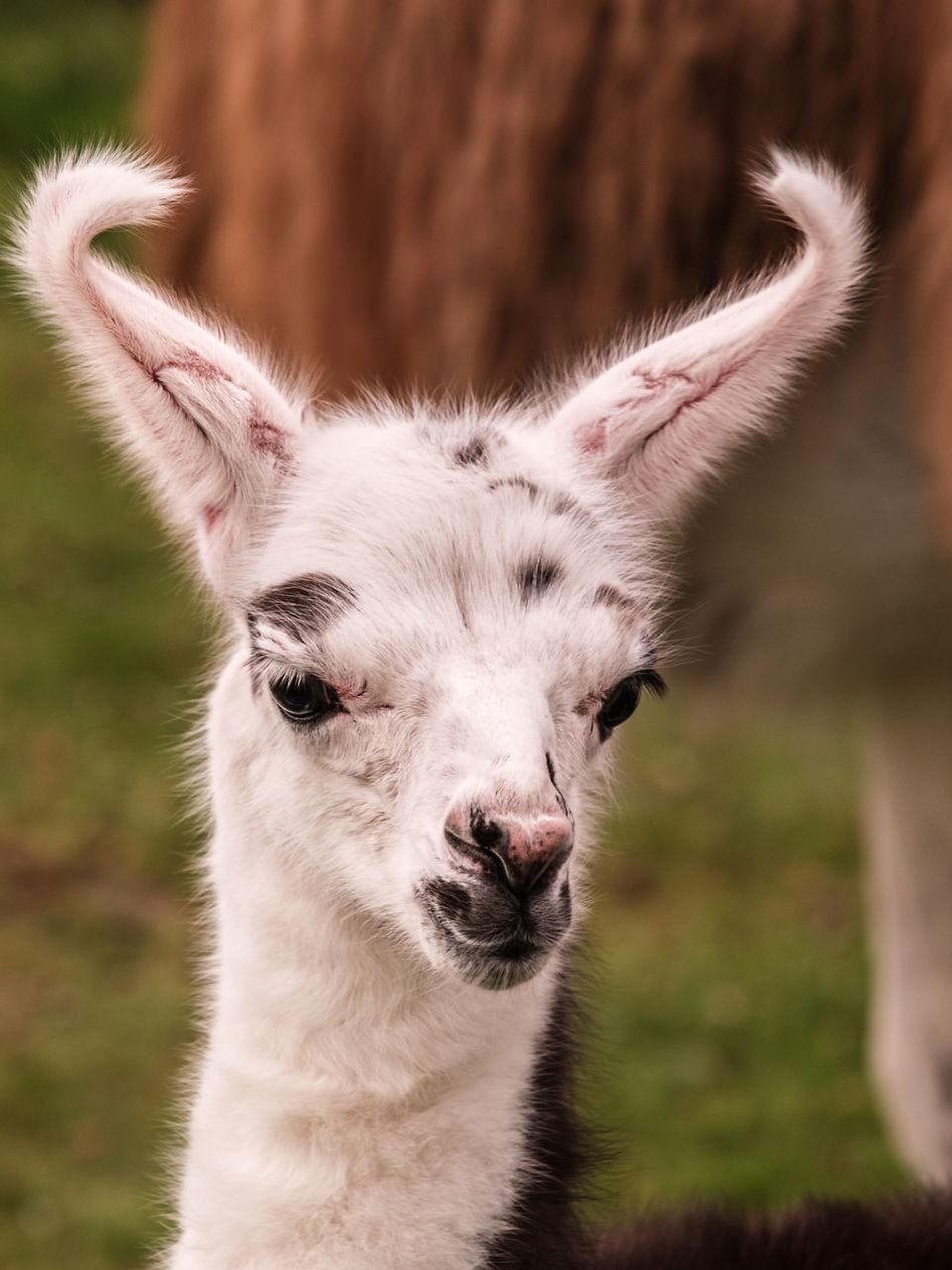 Beautiful stock photos of llama, Animal Themes, Close-Up, Cria, Day