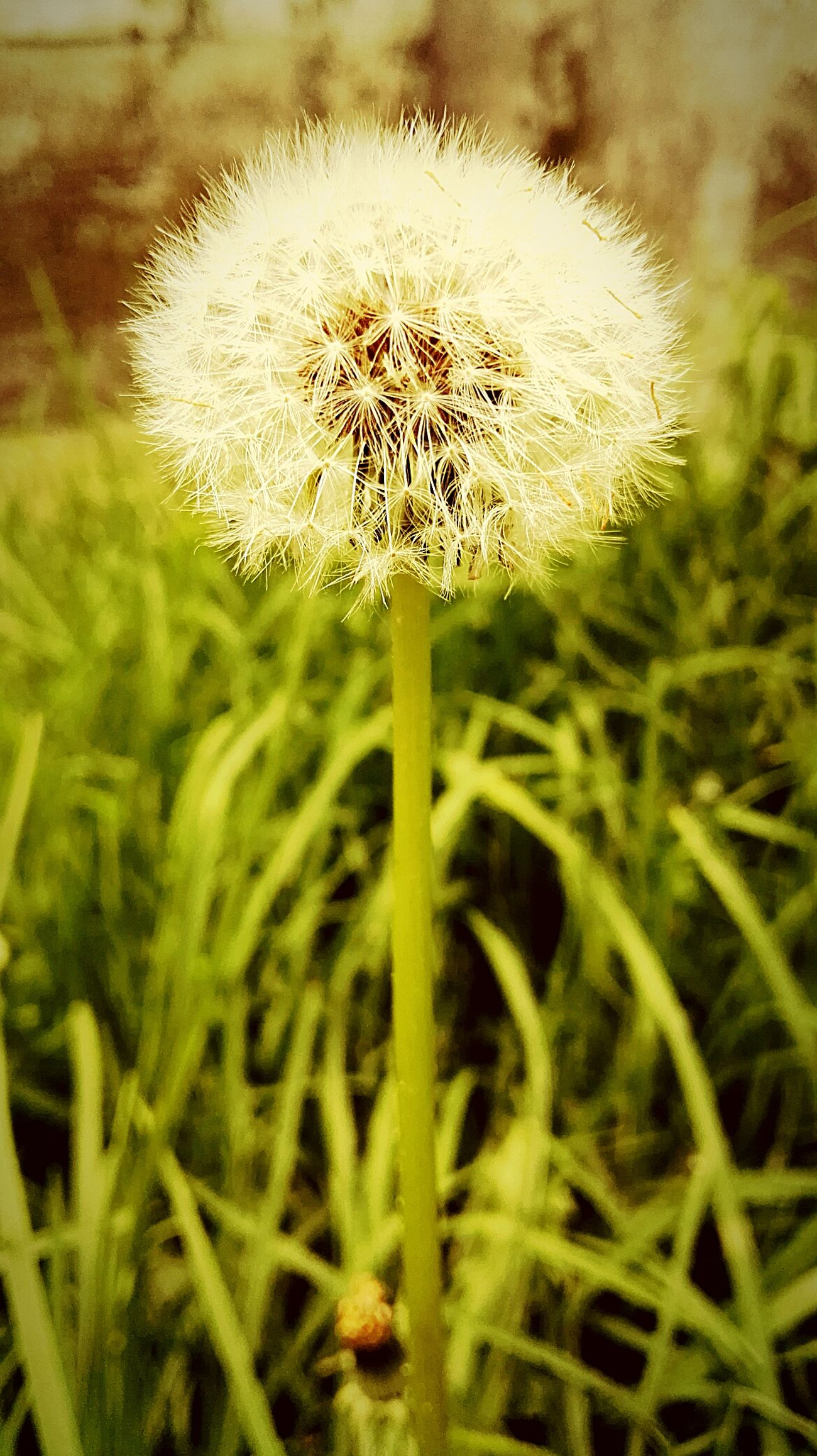 Garden Garden Flowers Garden Photography My Garden My Garden @my Home My Garden Is A Wonderland My Garden 😊 Enjoying Life Nature Beauty In Nature Grass No People Close-up Dandelion Seed Field Fragility Plant Day Freshness Growth Nature HuaweiP8 Enjoying Life