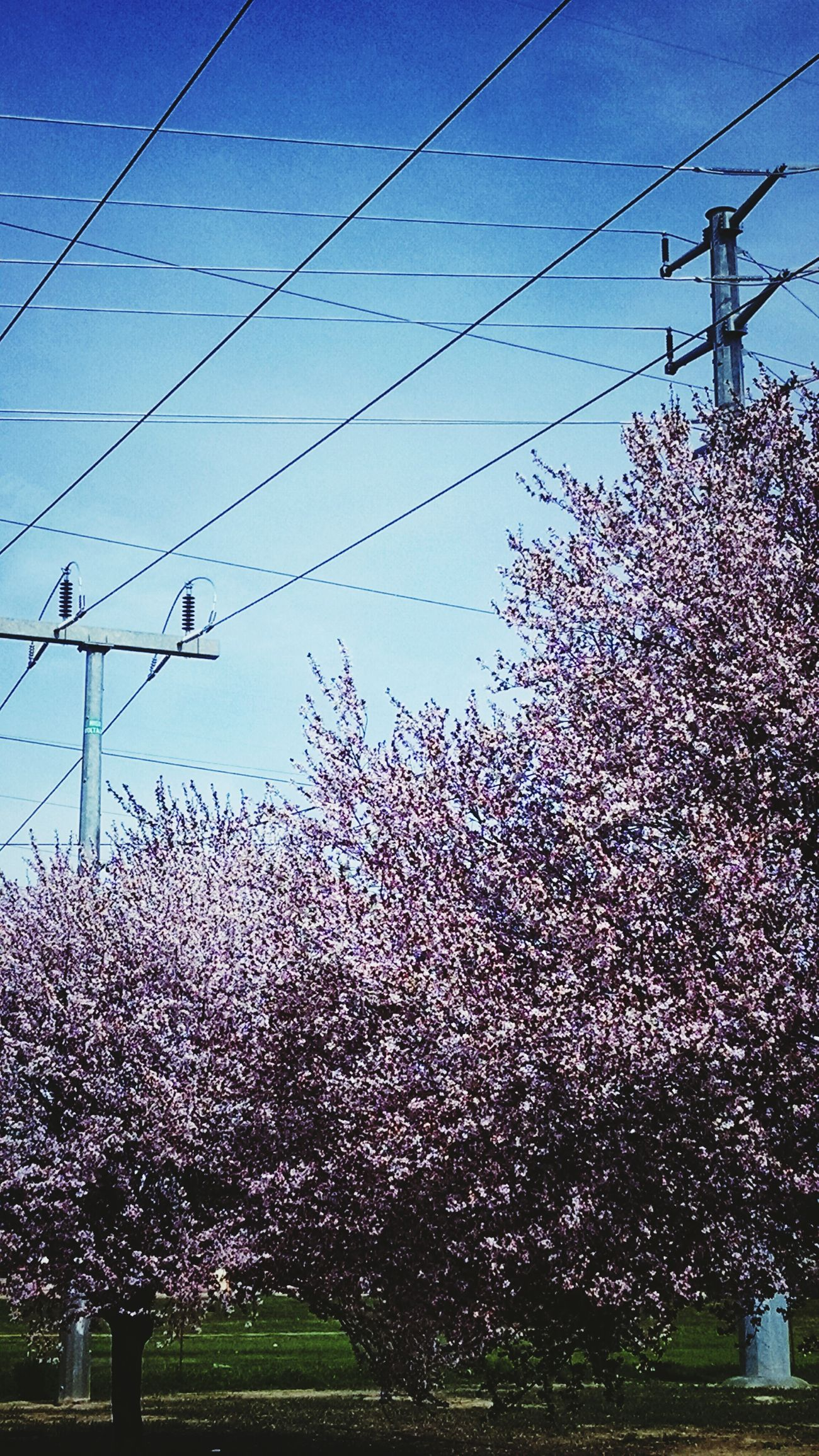 Pastel Power Blooming Trees Taking Photos Openspace Roseville Ca Roseville Roseville, CA Blooming Tree Powerlines Powerlinesaresoscenic Urban Nature UrbanHiking