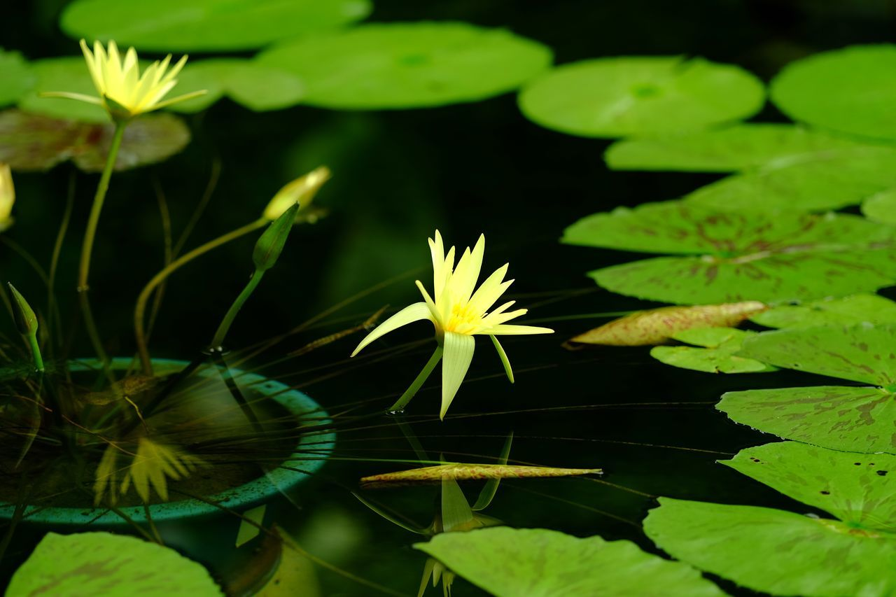 High Angle View Of Fresh Yellow Water Lily In Pond