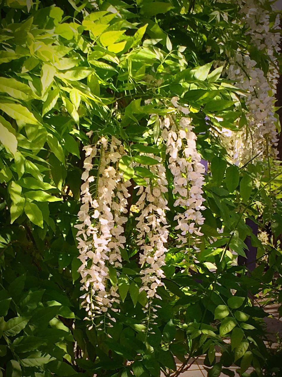 Urban Spring Fever Wisteria In White! Water Conversation Park. Flowers,Plants & Garden Enjoying Life
