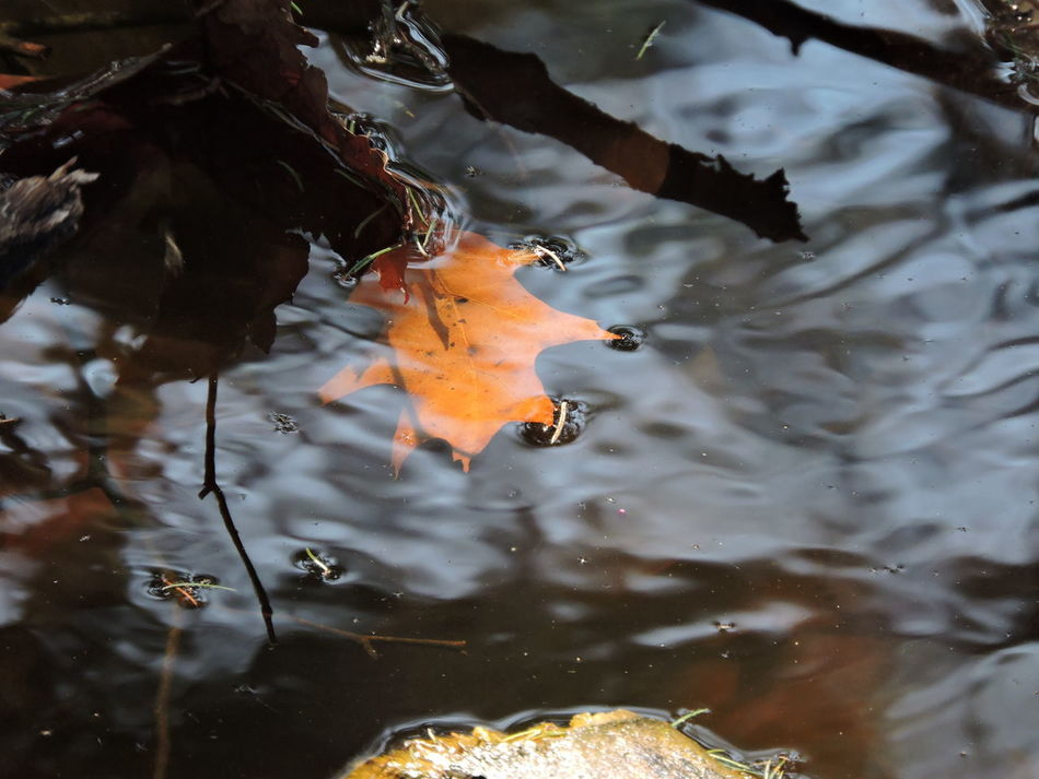 Animal Themes Animal Wildlife Animals In The Wild Close-up Creek Day Leaf 🍂 Nature No People One Animal Outdoors Reflections ☀ Sea Life Sunlit Swimming Water Waterfront