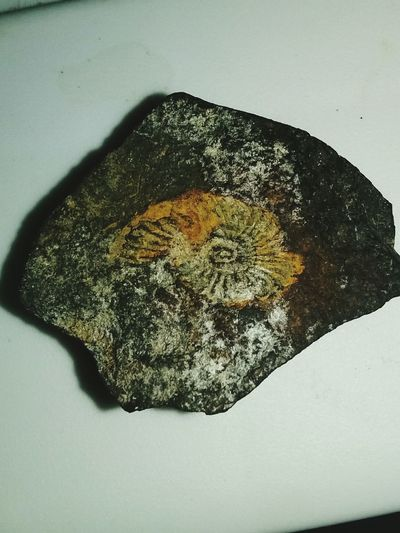 Close-up Biology New Fossils And Rocks Crustracean Seashell Fossils MT Sapphire No People Rough Texture Beauty In Nature
