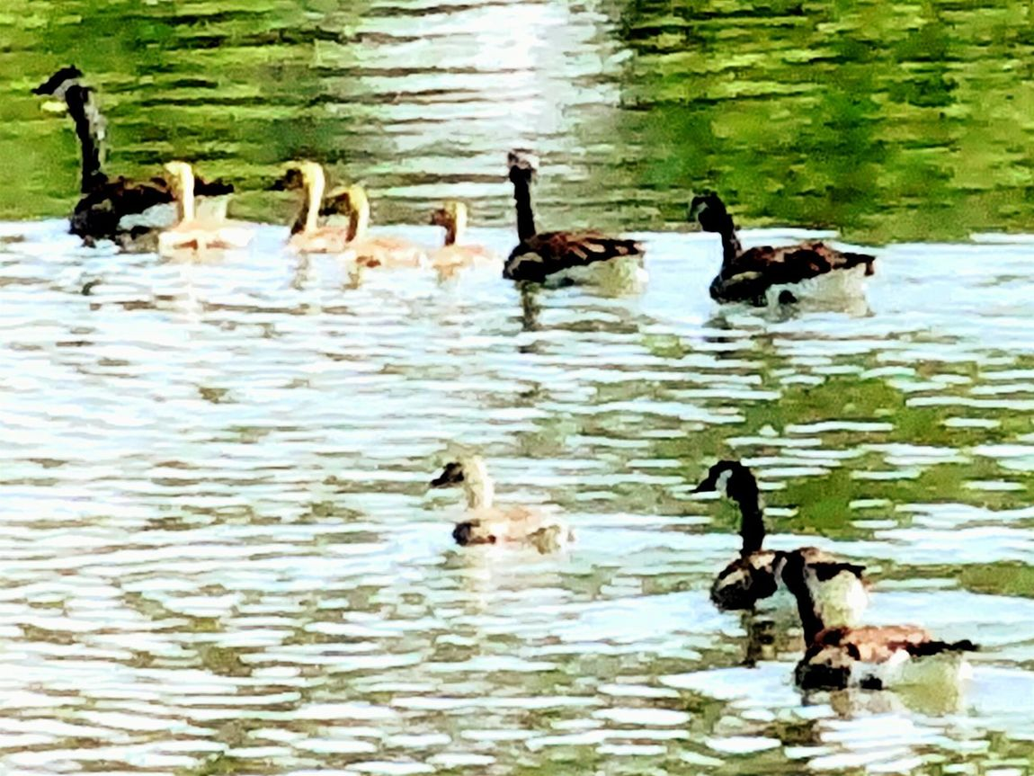 Geese Geese Family Lake View EyeEm Nature Lover Wild Geese Artistic Photo Ripples Water Ripples Peaceful View In My Backyard