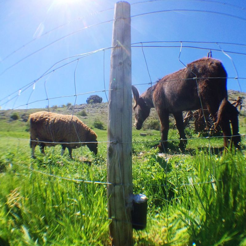 Patient camera among the cattle. Walking for hours looking for Solargraphy devices I feel closer to cattle herding than photography. Soria, Castilla y Leon. Solarigrafia Solargraphy Pinhole Camera Soria