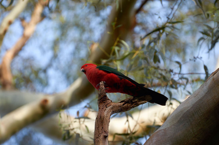 Animal Head  Animal Themes Animals In The Wild Beak Beauty In Nature Bird Branch Close-up Focus On Foreground Nature One Animal Perching Profile Red Red Color Side View Tree Wildlife Zoology