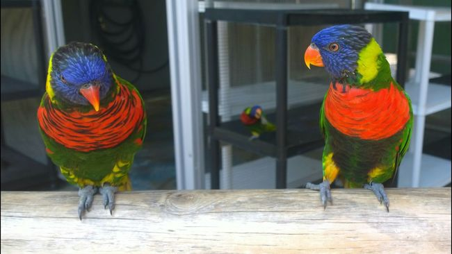 Rainbow Lorikeet Birds Rainbow Colorful Aquarium Of The Pacific Posing For The Camera @team Beautiful