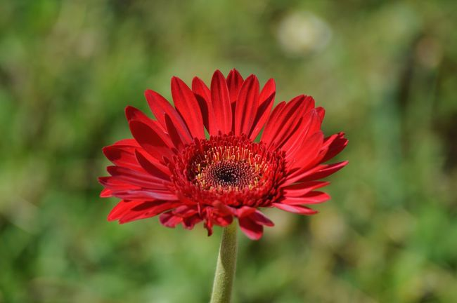 Nature Nature Photography DSLR Nikon Garden Flower No Edits India Sunflower Thegreatoutdoors-2016eyeemawards TheGreatOutdoors Red RedFlower Backgrounddefocus Background Defocus Lovely Awesome Awesome_nature_shots