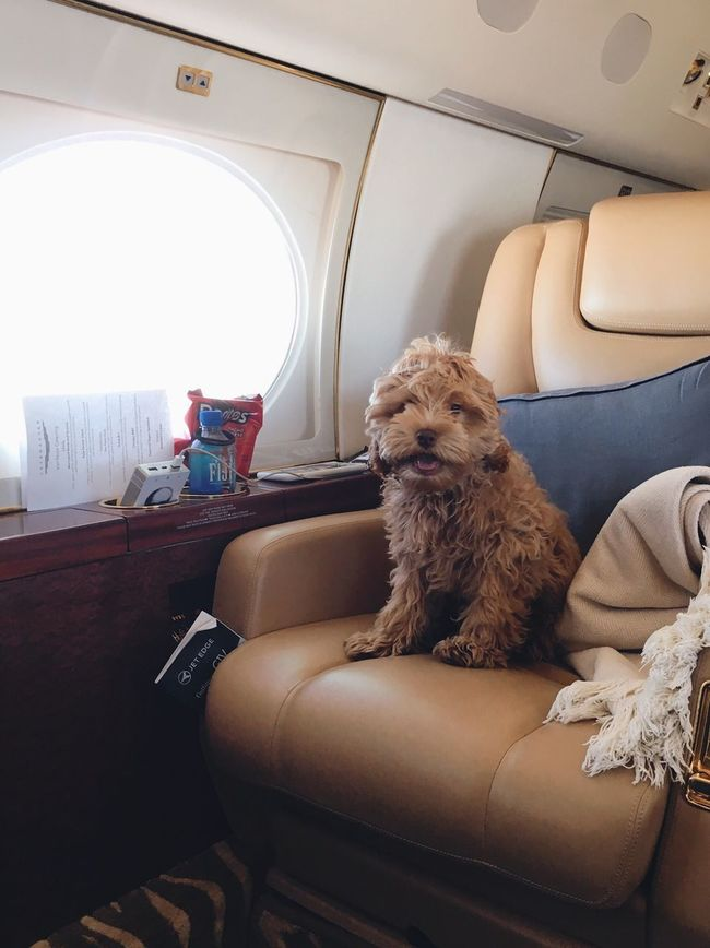 One Animal Dog Private Jet Sitting Airplane Travel Traveling