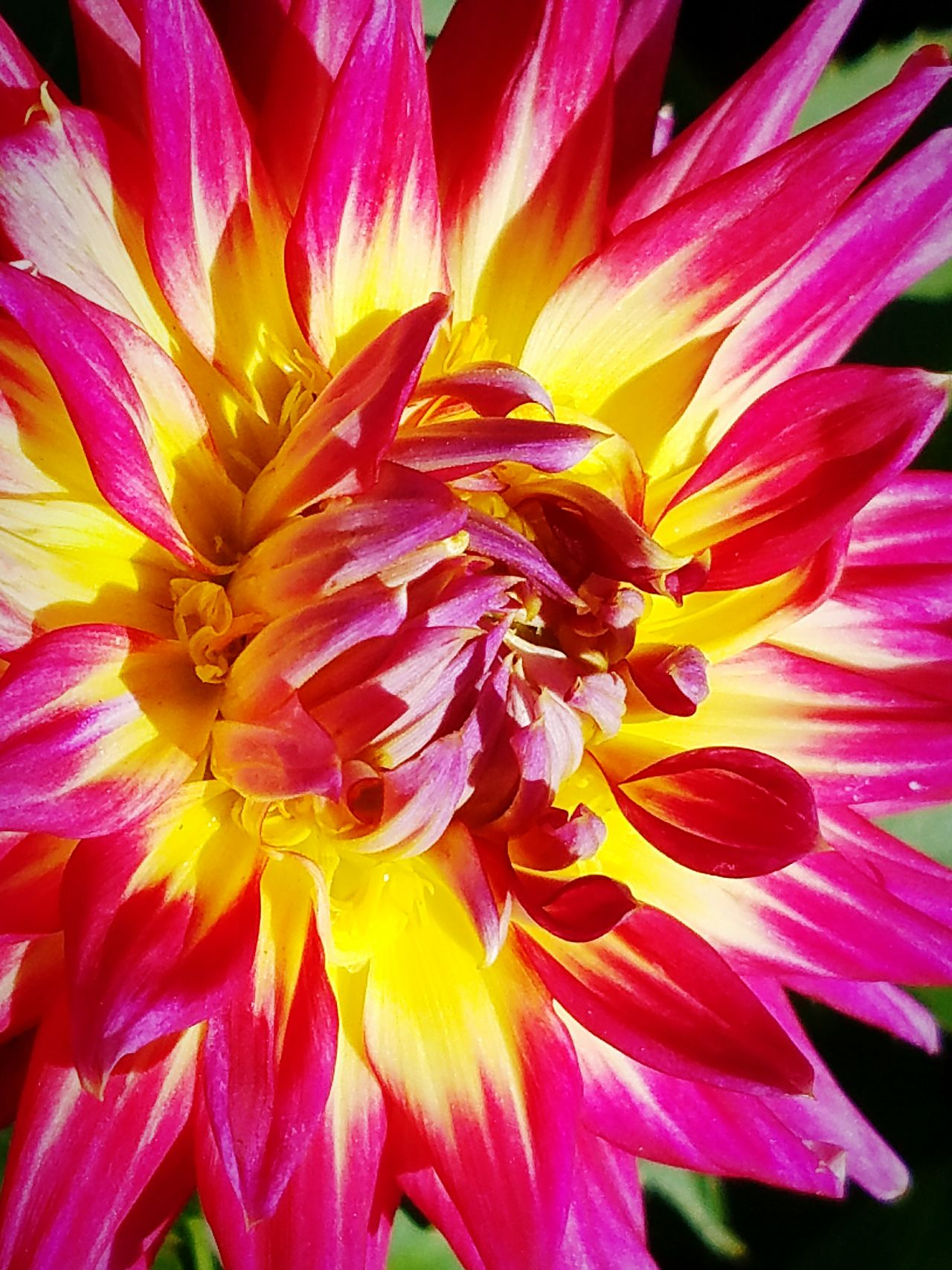 Dahlia Pinkandyellowflower Vividcolors Flowercloseup