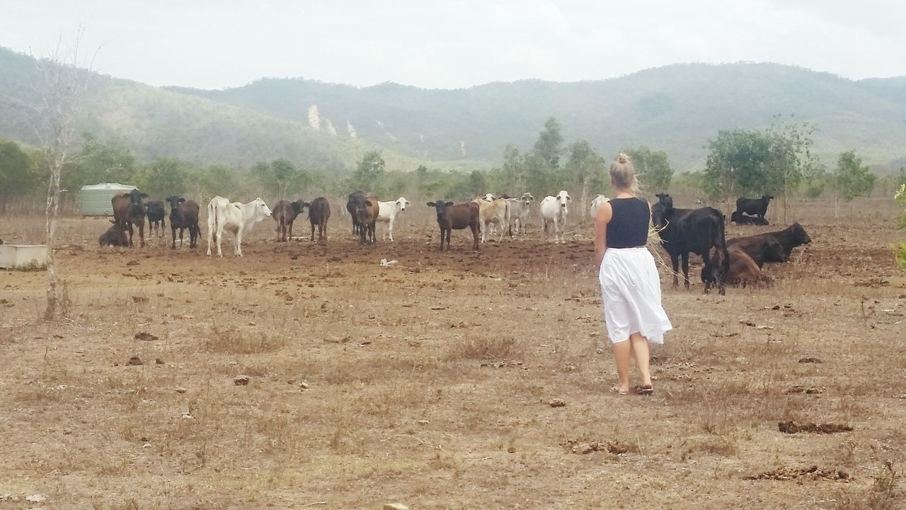 """How close you reckon I can get?"" Chicken. Cows Charged Chicken&cow Paddock Herd Of Cows"