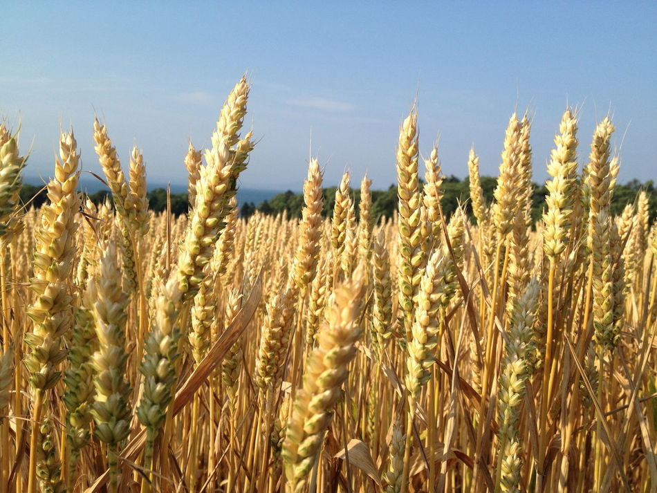 Beautiful stock photos of sunny, Agriculture, Barley, Cereal Plant, Clear Sky