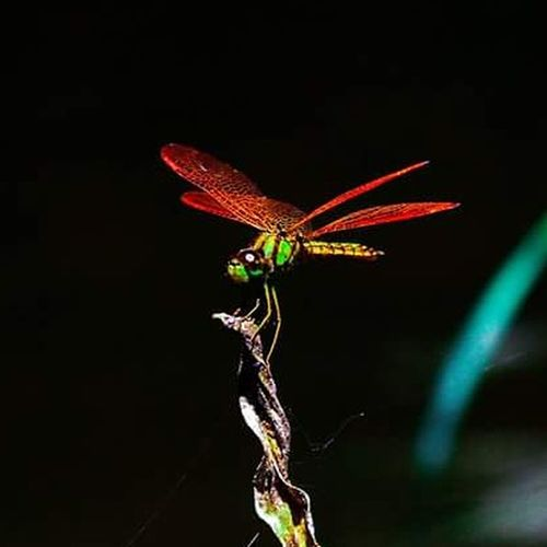 Insect One Animal Nafure Lover Nafureza Photo Landscape Red No People Black Background Animal Themes Outdoors Night Close-up
