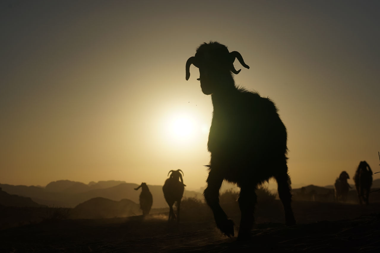 Adult Animal Wildlife Army Beauty In Nature Bedouin Full Length Horizontal Landscape Mammal Mountain Nature One Animal One Man Only One Person Only Men Outdoors People Person Sheep Shepherd Silhouette Sky Sun Sunset Wadi Rum JORDAN