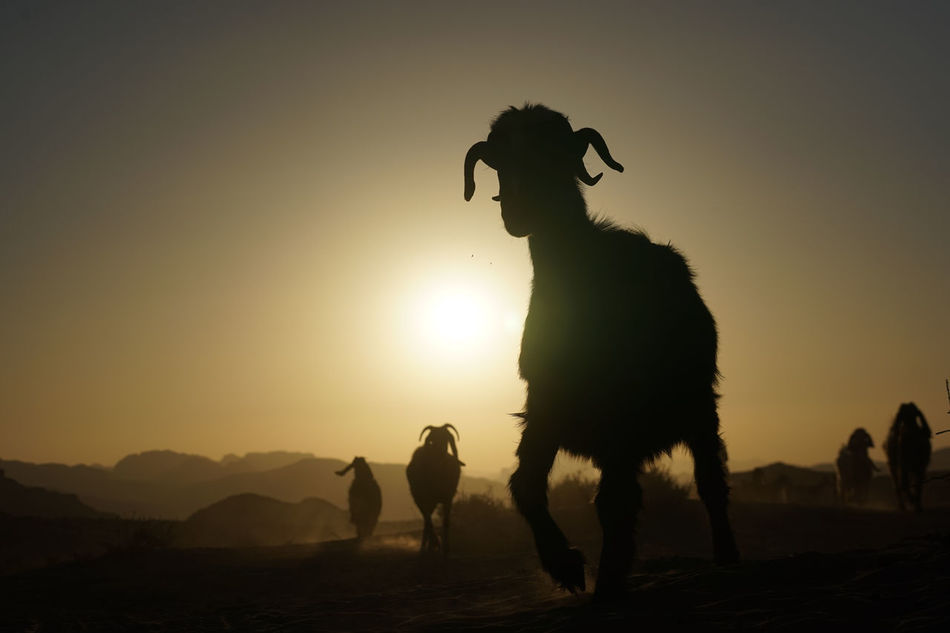 Beautiful stock photos of sheep,  Aqaba,  Back Lit,  Beauty In Nature,  Clear Sky