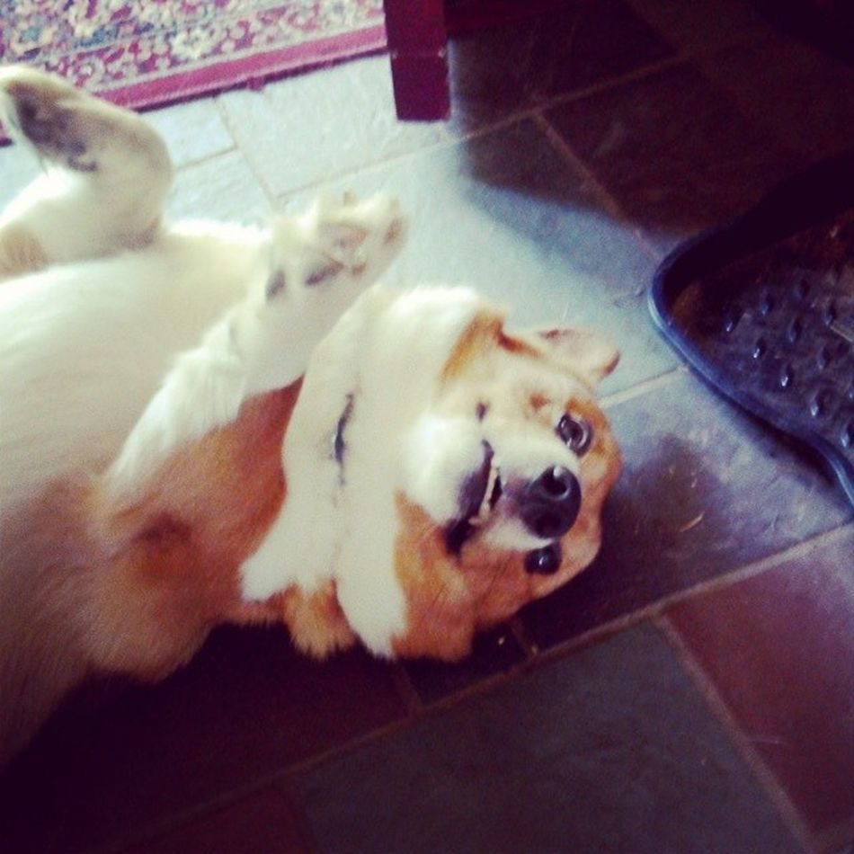 '' No Rose, save your life '' Liketitanic Dog Crogi Funny USA withvicky chien love mooney meme fun