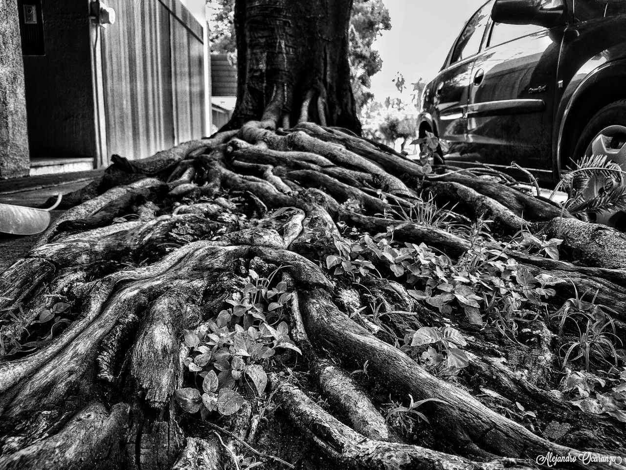 Raíces que Perduran City Nature Photo Guadalajara Mexico Photography Guadalajara Jalisco Photos Day Photographie  No People First Eyeem Photo Plant Tree Black And White Photography Blake_and_white Photographer Blsckandwhite B&w Blackandwhitephotography Black & White