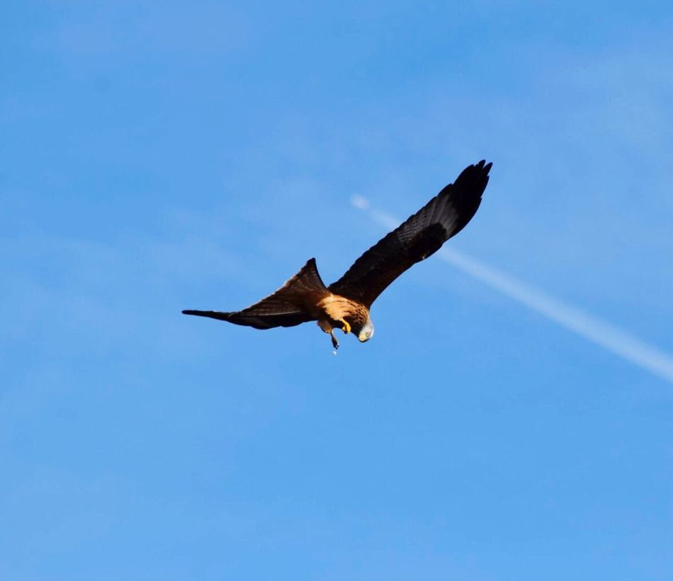 Spread Wings Redkite No People Nature Flying Bird Animals In The Wild Animal Wildlife Animal Themes Bird Of Prey One Animal Outdoors Clear Sky