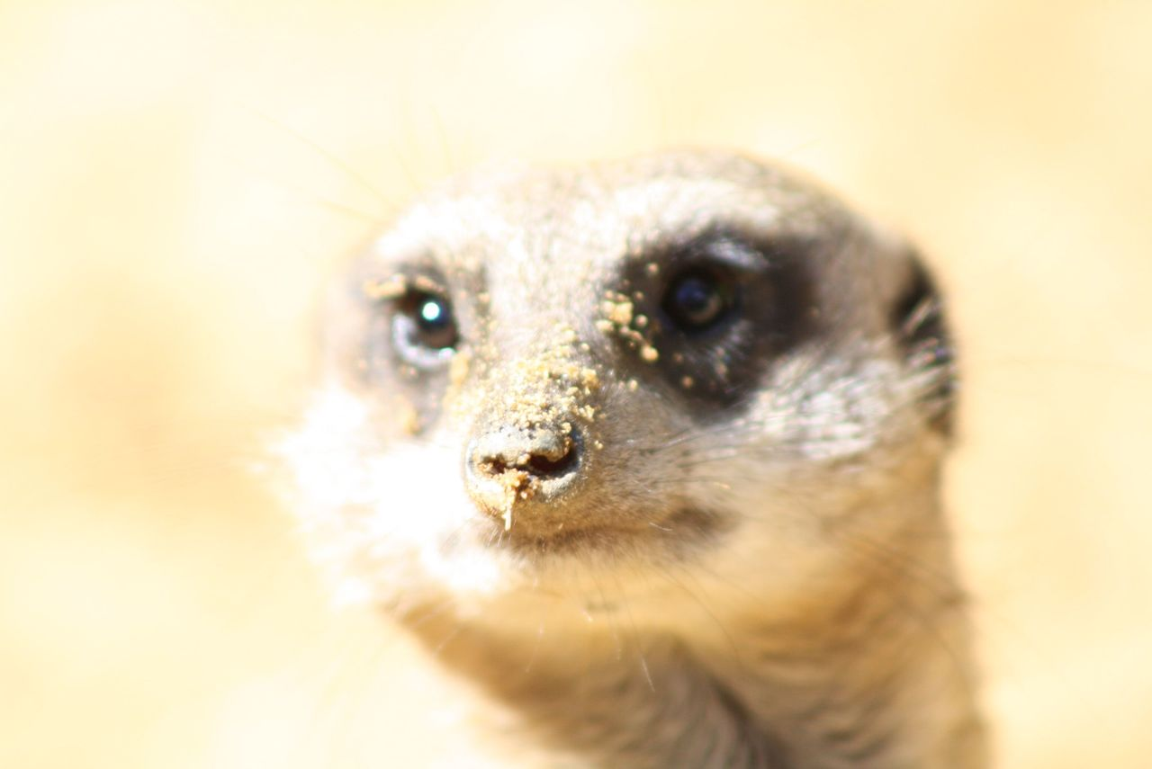 Animal Eye Animal Themes Animal Wildlife Close-up Meerkat Meerkats No People One Animal Portrait Zoo EyeEmNewHere