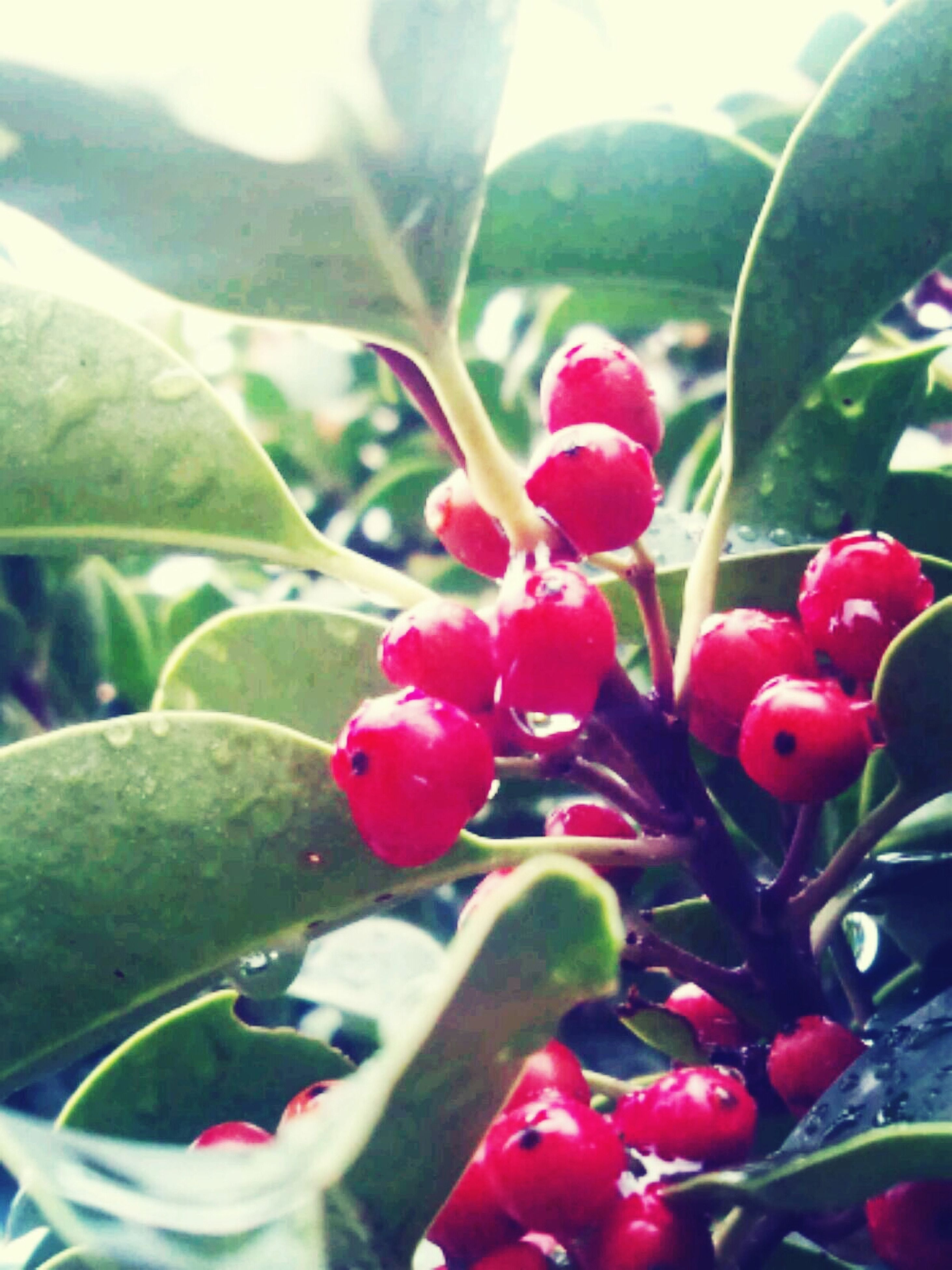 freshness, red, flower, growth, leaf, close-up, beauty in nature, fruit, plant, nature, fragility, focus on foreground, water, food and drink, petal, stem, bud, berry fruit, day, green color