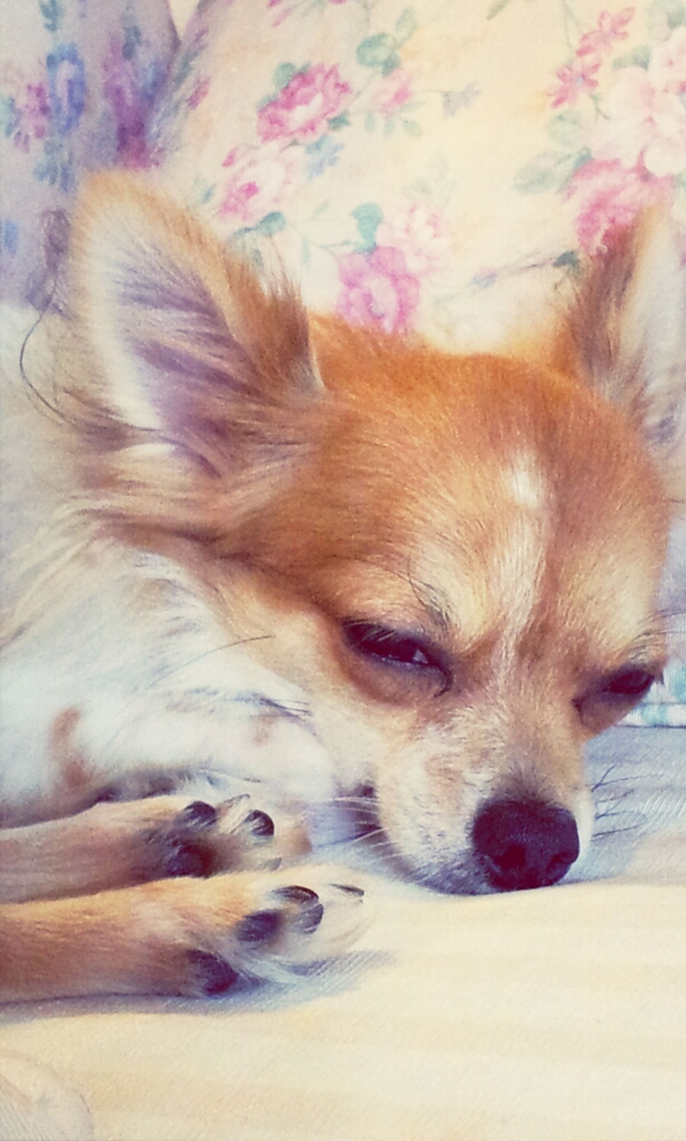 domestic animals, animal themes, dog, mammal, pets, one animal, relaxation, lying down, resting, animal head, close-up, animal hair, brown, high angle view, sleeping, indoors, canine, no people, puppy, zoology