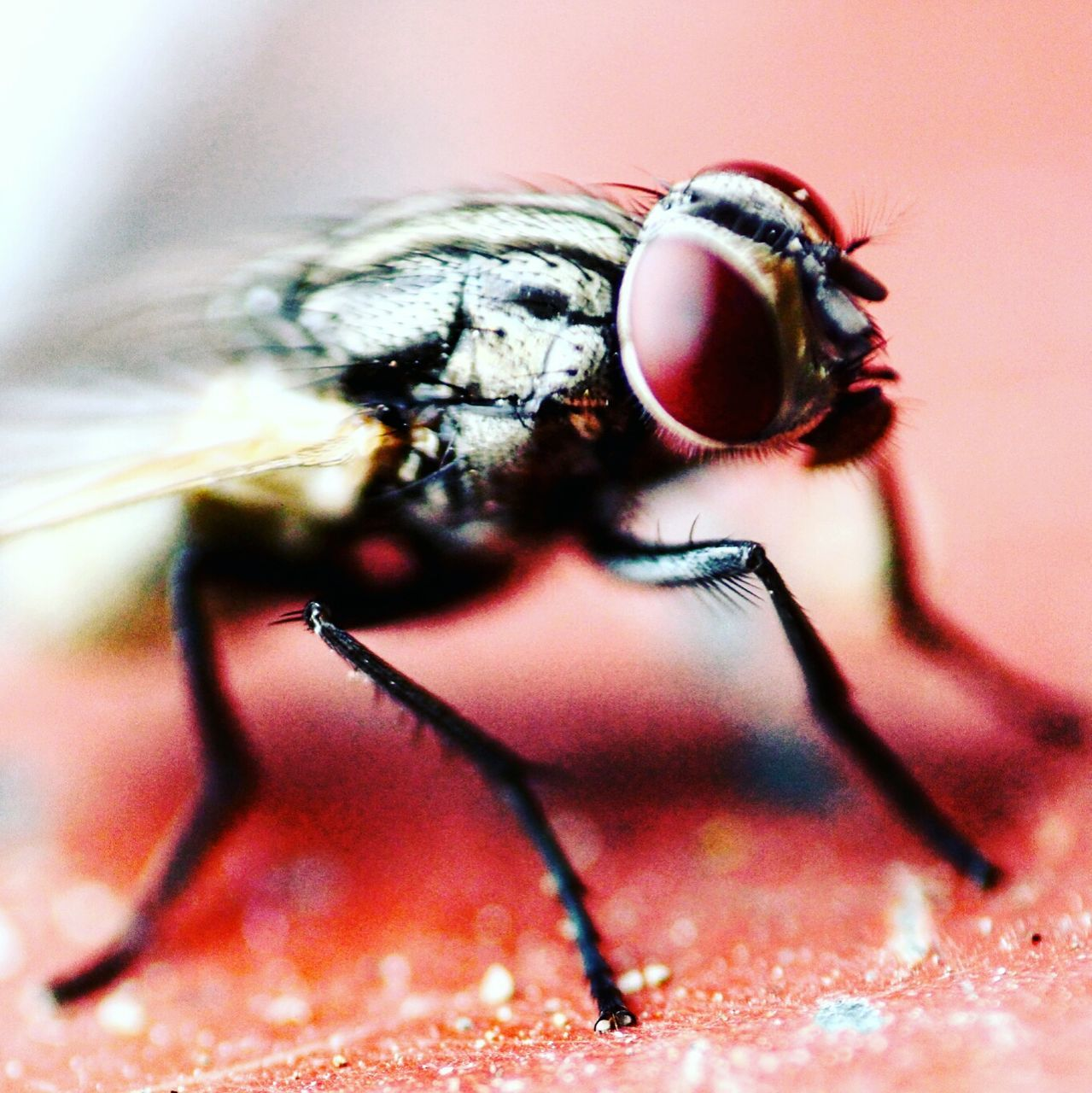 one animal, insect, animal themes, animals in the wild, close-up, macro, animal wildlife, no people, housefly, day, outdoors, nature