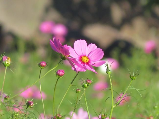 可愛い💕 Flower Cosmos Flower 花 コスモス 秋桜 Cosmos 秋の花