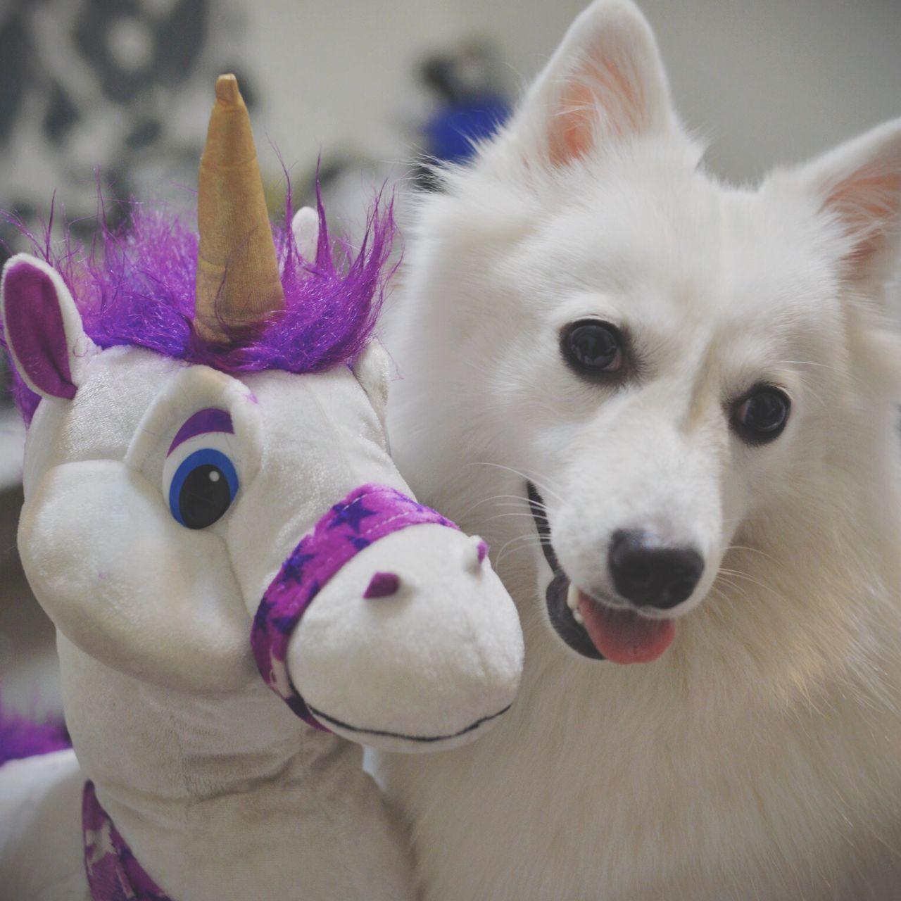Imaginary friend Pet Photography  Cute Pets Japanese Spitz Petstagram