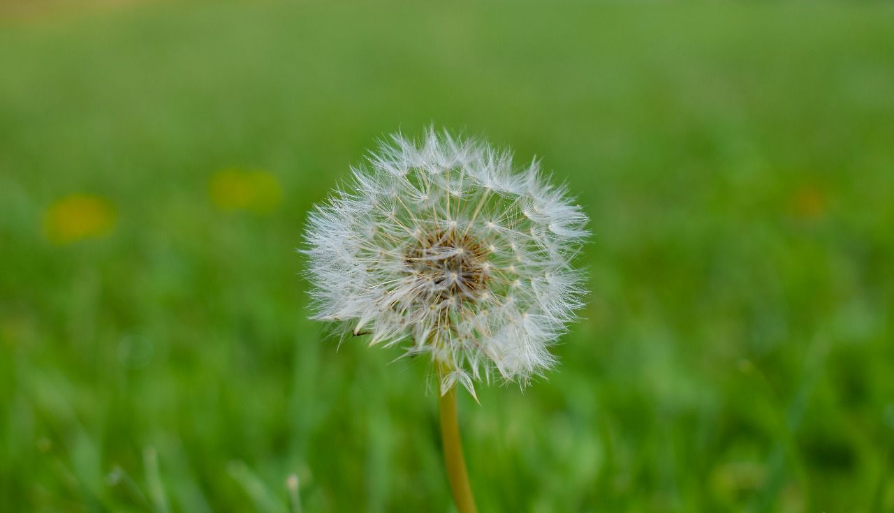 flower, growth, nature, fragility, dandelion, flower head, plant, beauty in nature, freshness, close-up, softness, focus on foreground, wildflower, petal, uncultivated, no people, springtime, day, outdoors, blooming, grass