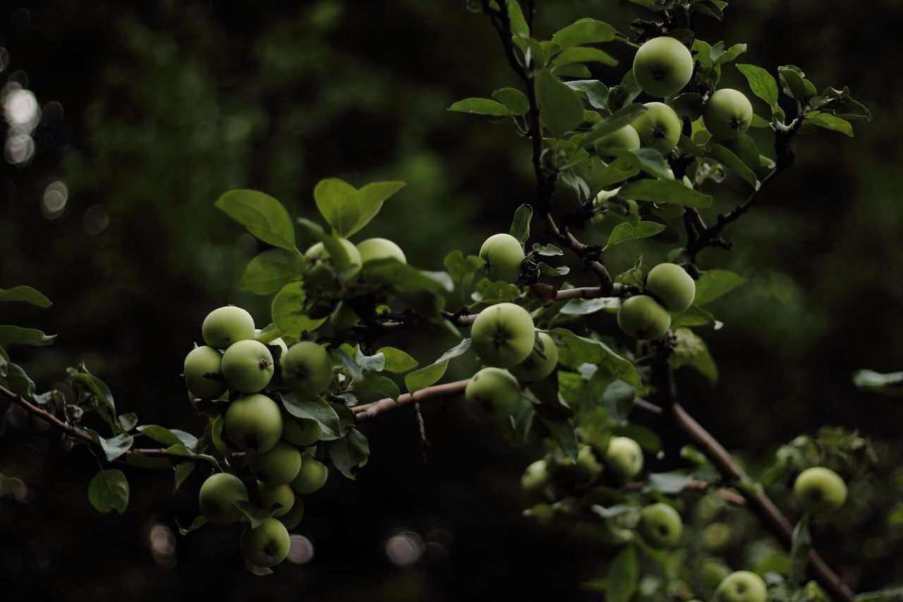 Beautiful stock photos of granny, Apple - Fruit, Apple Tree, Beauty In Nature, Branch