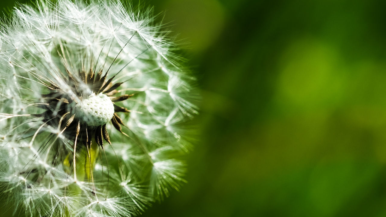 Dandelion Flower Nature Close-up Fragility Softness Uncultivated Green Color Wildflower Seed Beauty In Nature Plant Springtime Flower Head Growth Freshness Outdoors No People Day