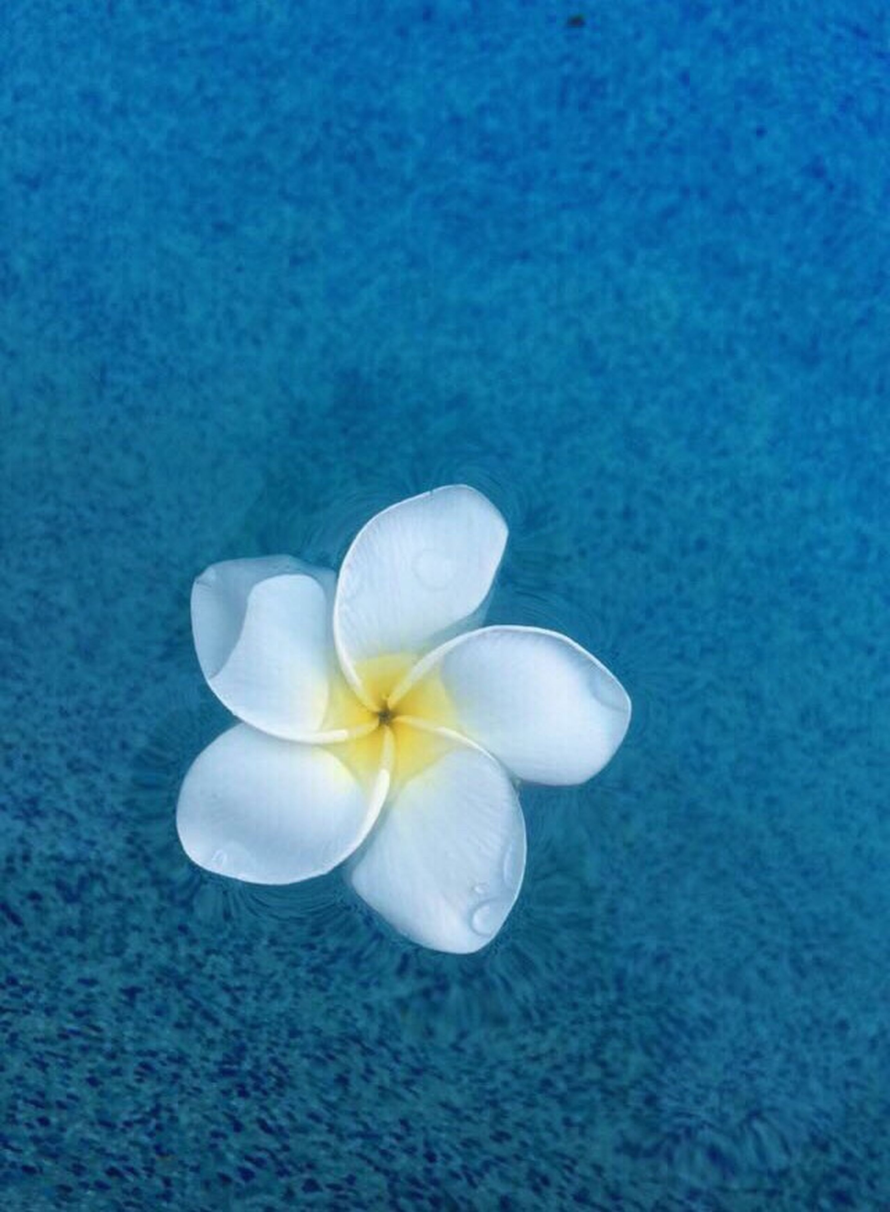blue, no people, close-up, flower, nature, flower head, beauty in nature, fragility, freshness, water, day, outdoors