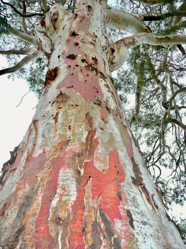 Natural Beauty Natural Pattern Beauty In Nature Branch Close-up Colourful Tree Bark Eucalyptus Tree Growth In Australia Low Angle View Nature Neon Life No People Tree Tree Trunk
