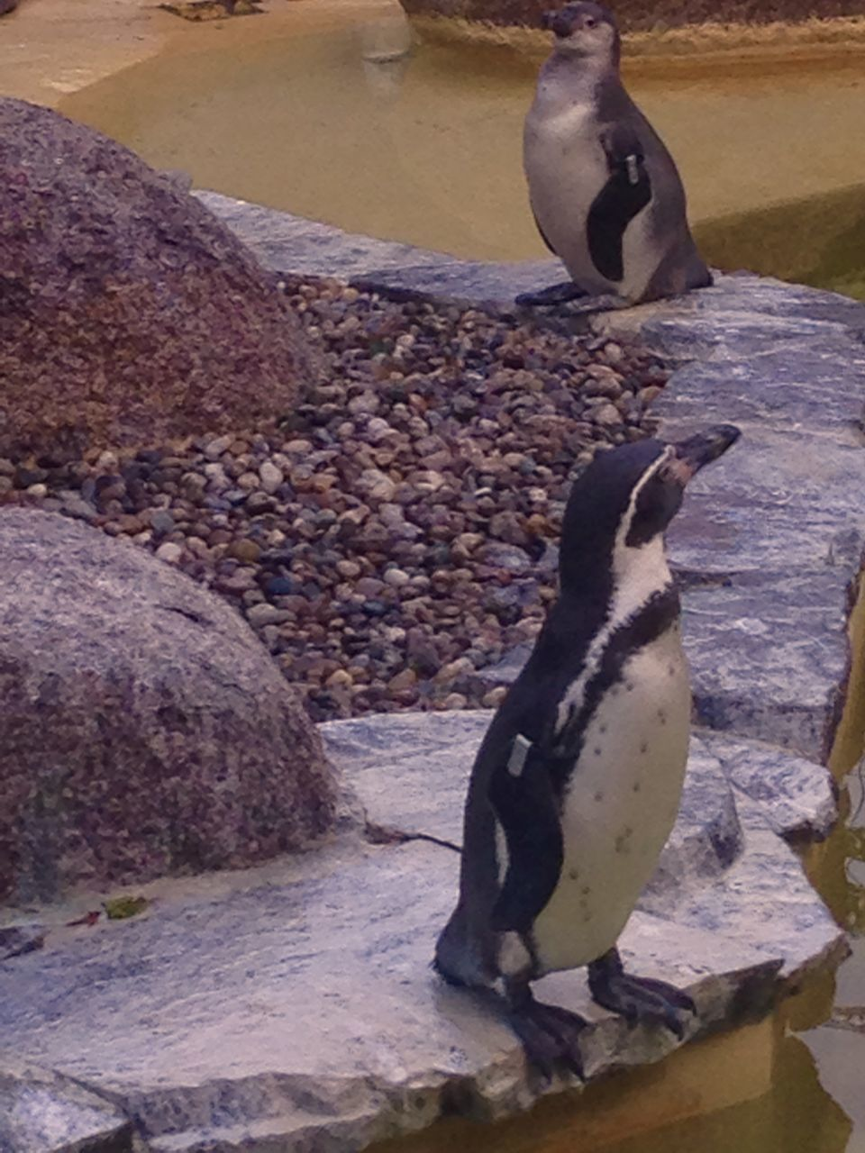 bird, animal themes, animals in the wild, animal wildlife, penguin, nature, rock - object, no people, water, day, one animal, outdoors, perching